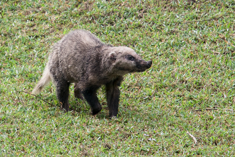 The hog badger (Arctonyx collaris) is one of the many species that call Prey Lang's forests home. It is listed as Vulnerable by the IUCN. Image by Rushenb via Wikimedia Commons (CC BY-SA 4.0).