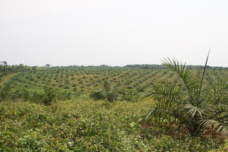 Recently planted oil palm plantation near Lokumete in February 2020. Image © Oskar Epelde courtesy of the Oakland Institute.