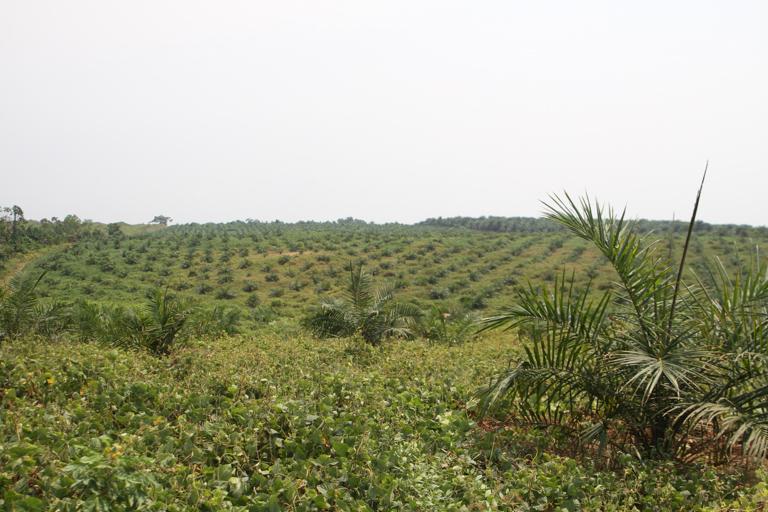 Recently planted oil palm plantation near Lokumete in February 2020. Image © Oskar Epelde courtesy of the Oakland Institute.
