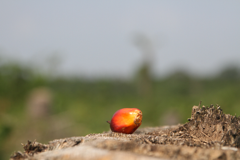 An oil palm kernel. Image © Oskar Epelde courtesy of the Oakland Institute.