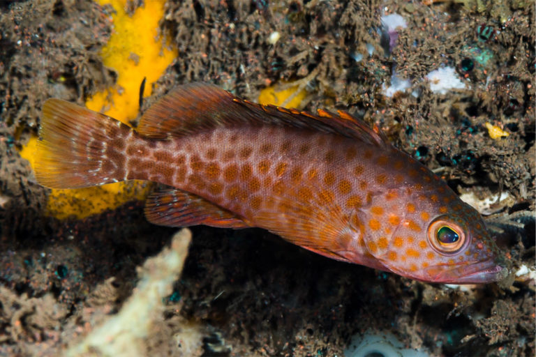 A juvenile areolate grouper (Epinephelus areolatus). Protecting immature fish is key to keeping any fishery sustainable in the long term.