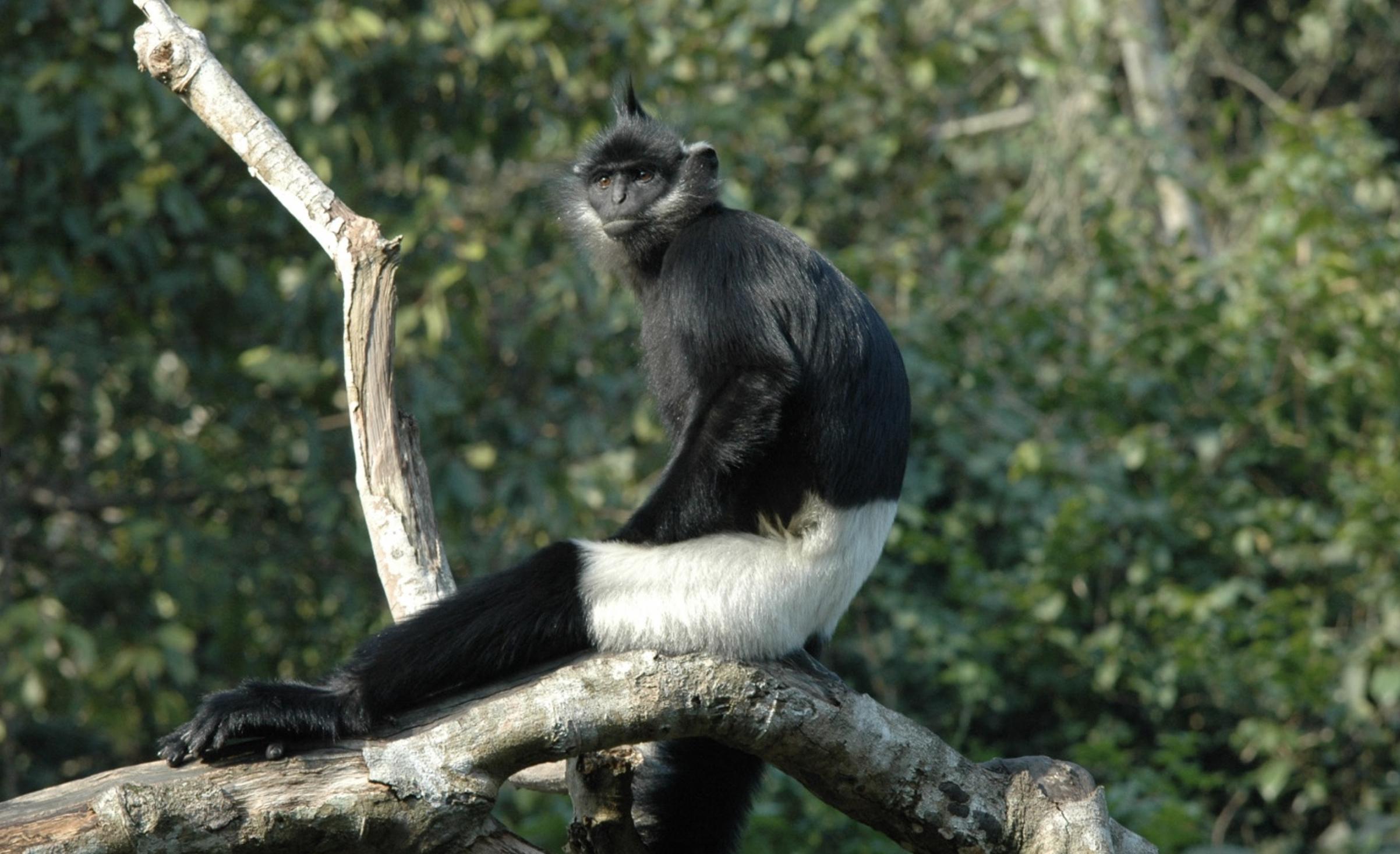 Fewer than 300 Delacour's langurs (Trachypithecus delacouri) remain today. Image by Tilo Nadler/Endangered Primate Rescue Center.