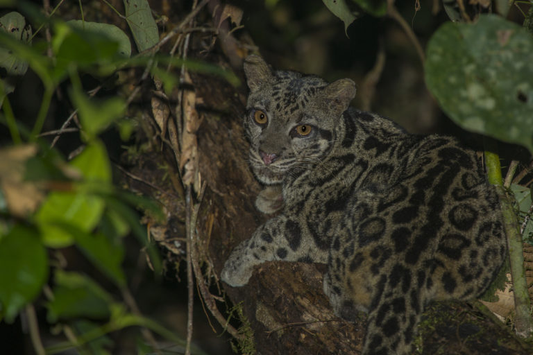 A distinct species from clouded leopardsfound on mainland Asia, the Sunda clouded leopard is divided into two subspecies: the Bornean (Neofelis diardi borneensis), pictured here, and Sumatran clouded leopard (Neofelis diardi diardi). Image by Charles Ryan / Sticky Rice Travel.