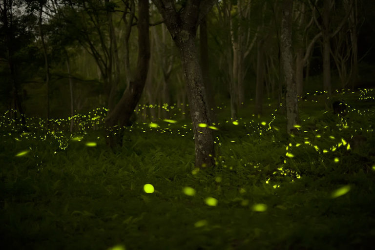 Fireflies synchronize their flashing to find a mate. Image by Fred Huang via Flickr (CC BY-NC 2.0).