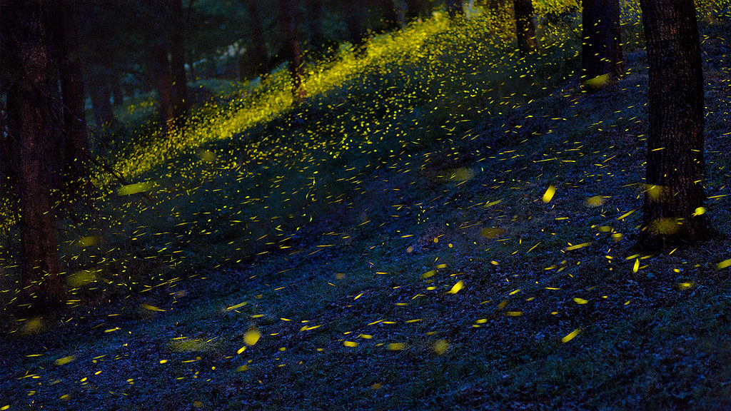 Fireflies illuminate the forest. Image by Roberto Marchegiani via Flickr (CC BY-NC-ND 2.0).