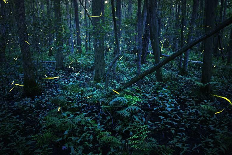 endangered mystical lantern fireflies (Photuris mysticalampas) in an Atlantic white cedar forest in Delaware by Radim Schreiber, fireflyexperience.org.