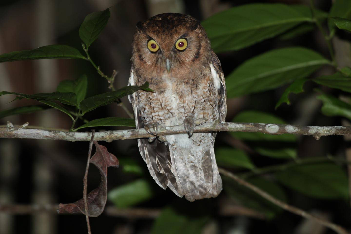 The newly described Alagoas screech owl (Megascops alagoensis) from Brazil's Atlantic forest is thought to be critically endangered. Image by Gustavo Malacco.