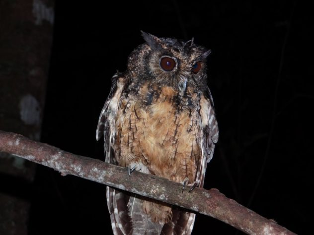 One of the newly described species, the Xingu screech owl (Megascops stangiae) was named in honor of the late activist Sister Dorothy Mae Stang. Image by Kleiton Silva.