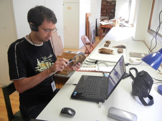 Lead author Sidnei Dantas, who collected many of the field recordings and tissue samples for the study during his Ph.D. research, is seen here measuring owl specimens at the Field Museum. Image by John Bates/Field Museum.