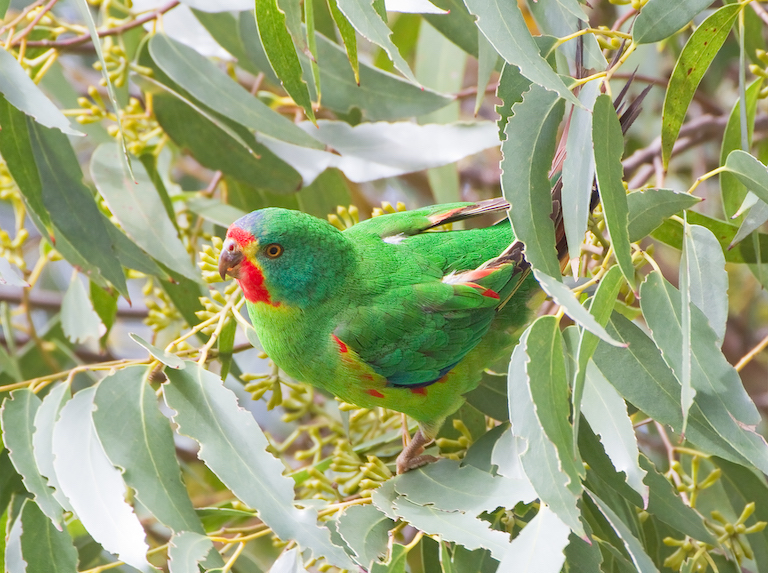 Australia's pivot to plantations may be too late for nearly extinct parrots