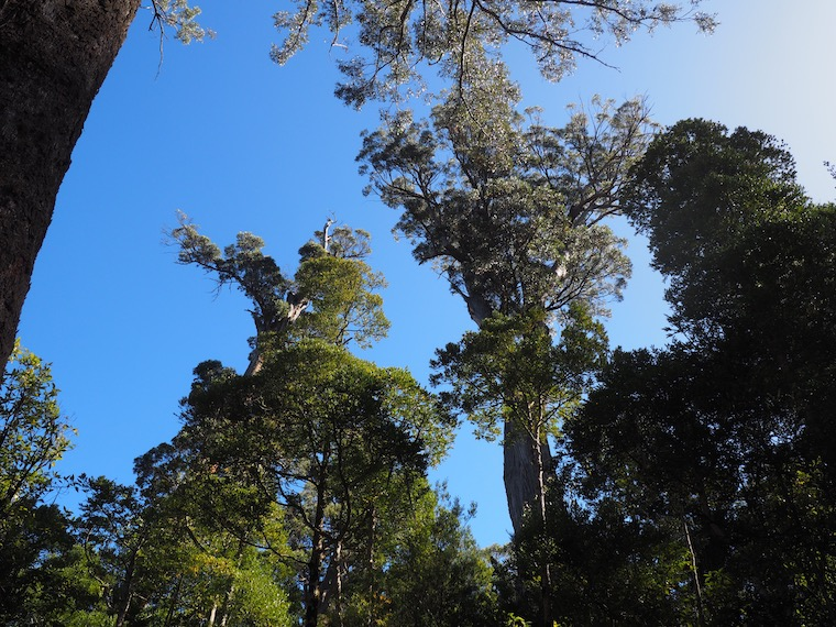 Native old growth forest in southern Tasmania is vital swift parrot habitat. Image by Nick Rodway for Mongabay.