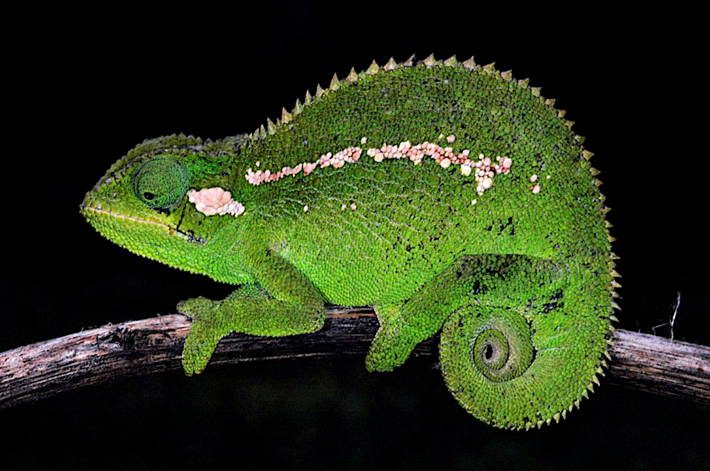 Spiny new chameleon species described from Bale Mountains of Ethiopia