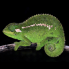 The new chameleon species, Trioceros wolfgangboehmei