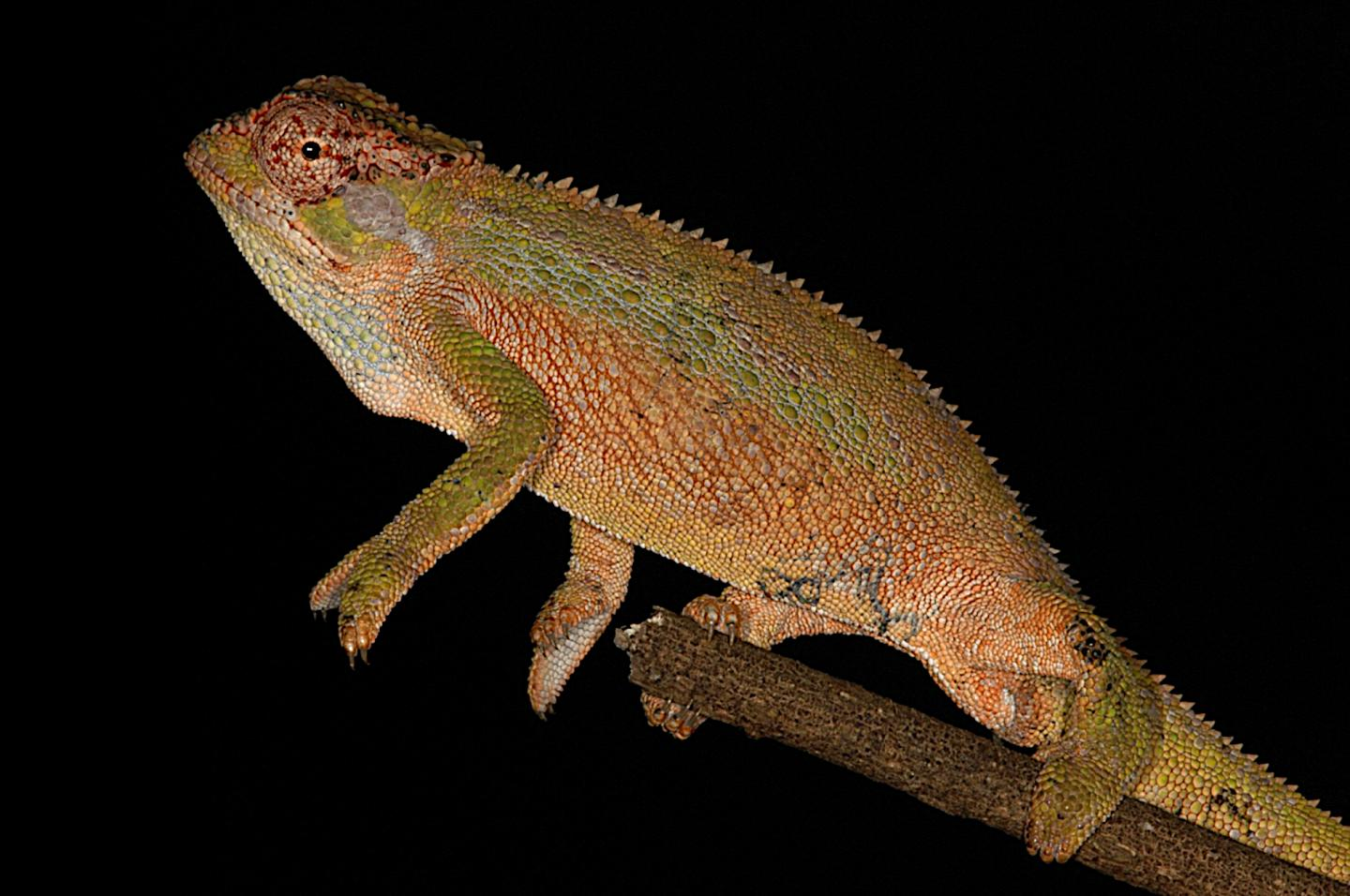 the new chameleon, Trioceros wolfgangboehmei. Photo from Koppetsch et al. CC-BY 4.0