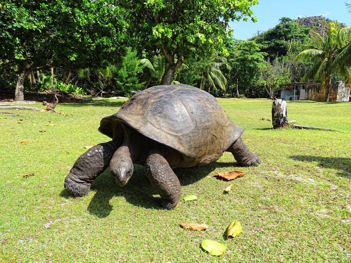 An Aldabra giant tortoise. Image Courtesy of Wikimedia commons.
