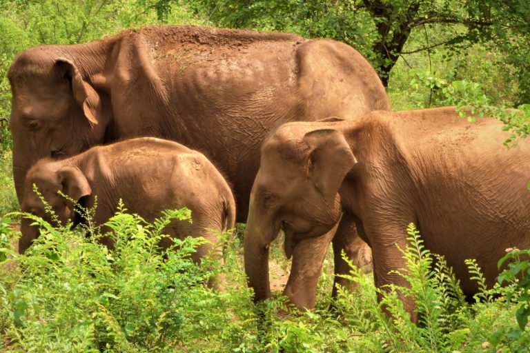 Scientists report that some Udawalawe elephants are emaciated, raising concerns that they may not have enough to eat. Blocking the vital elephant corridor may exacerbate food shortages, potentially leading to the death of some elephants. Image courtesy of Shermin de Silva.