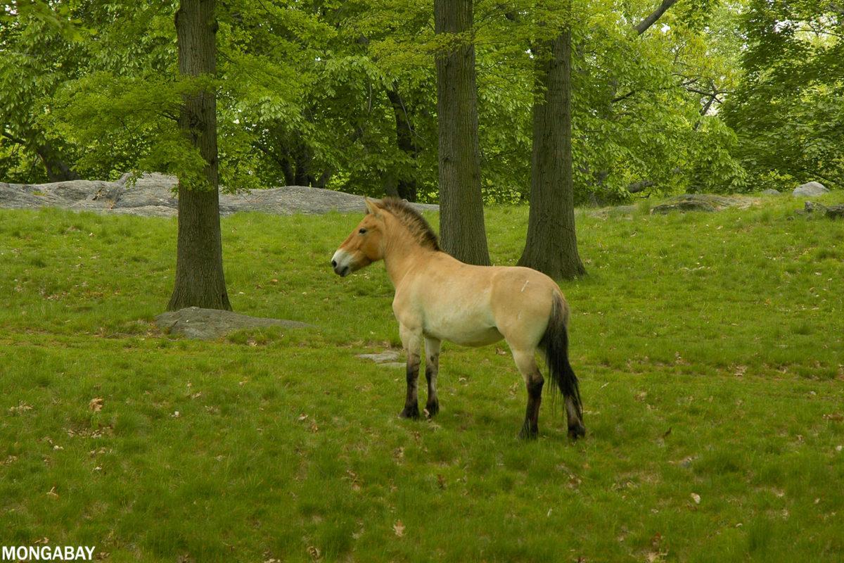 Przewalski's horse. Photo credit: Rhett A. Butler
