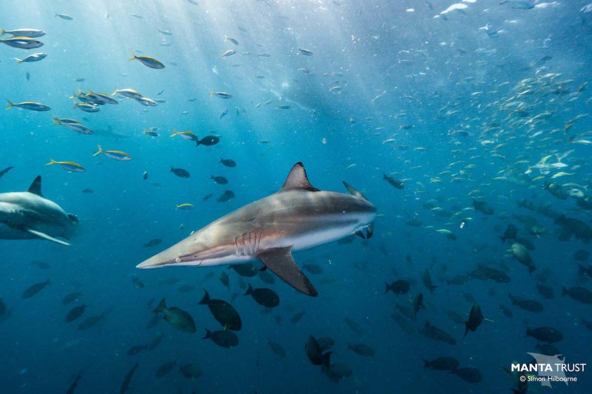 Sharks on a knife's edge as Maldives mulls lifting 10-year fishing ban