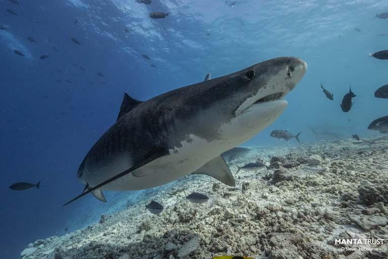 Tiger shark (Galeocerdo cuvier) in the Maldives. Image by Simon Hilbourne / Maldives.