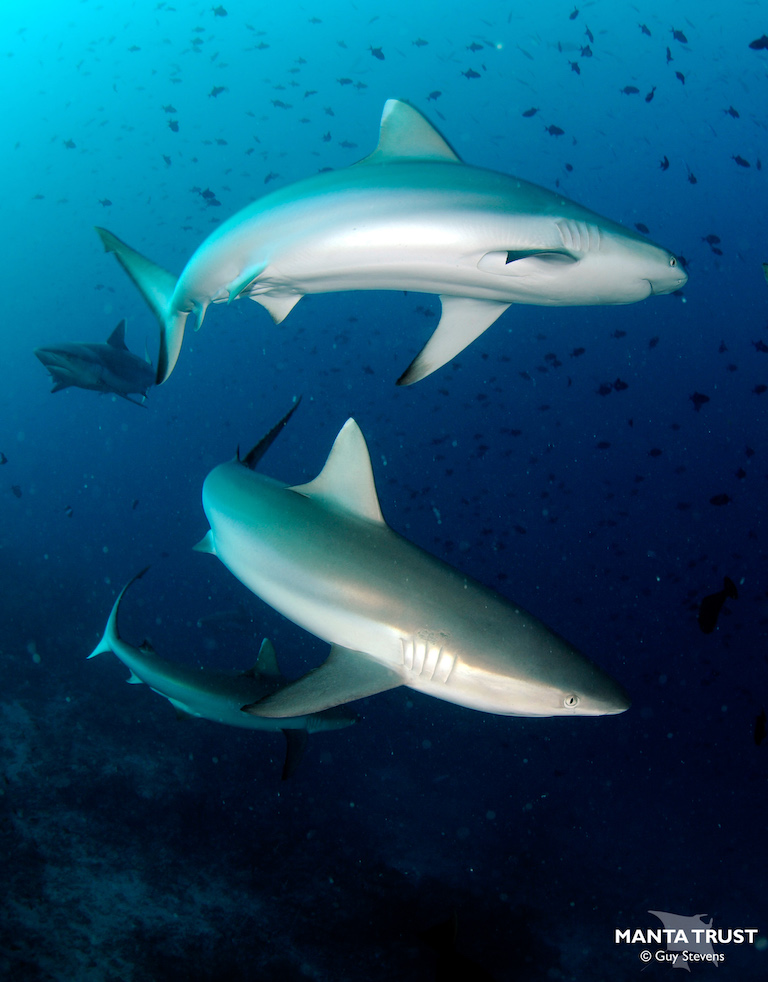 Grey reef sharks (Carcharhinus amblyrhynchos) at the Ari Atoll in the Maldives. Image by Guy Stevens / Manta Trust.