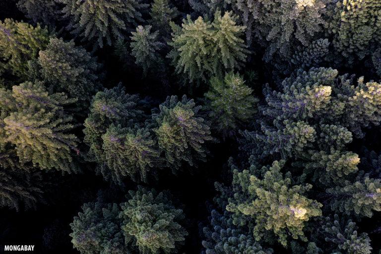 California redwoods. Photo credit: Rhett A. Butler