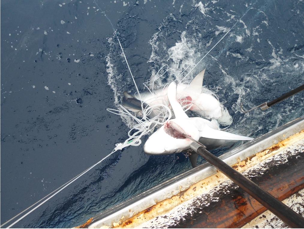 Pesca direcionada ao Brasil trazendo um mako de atum curto (Isurus oxyrinchus) e um tubarão-de-seda (Carcharhinus falciformis) de um espinhel. Imagem cortesia do ICMBio-CEPSUL.