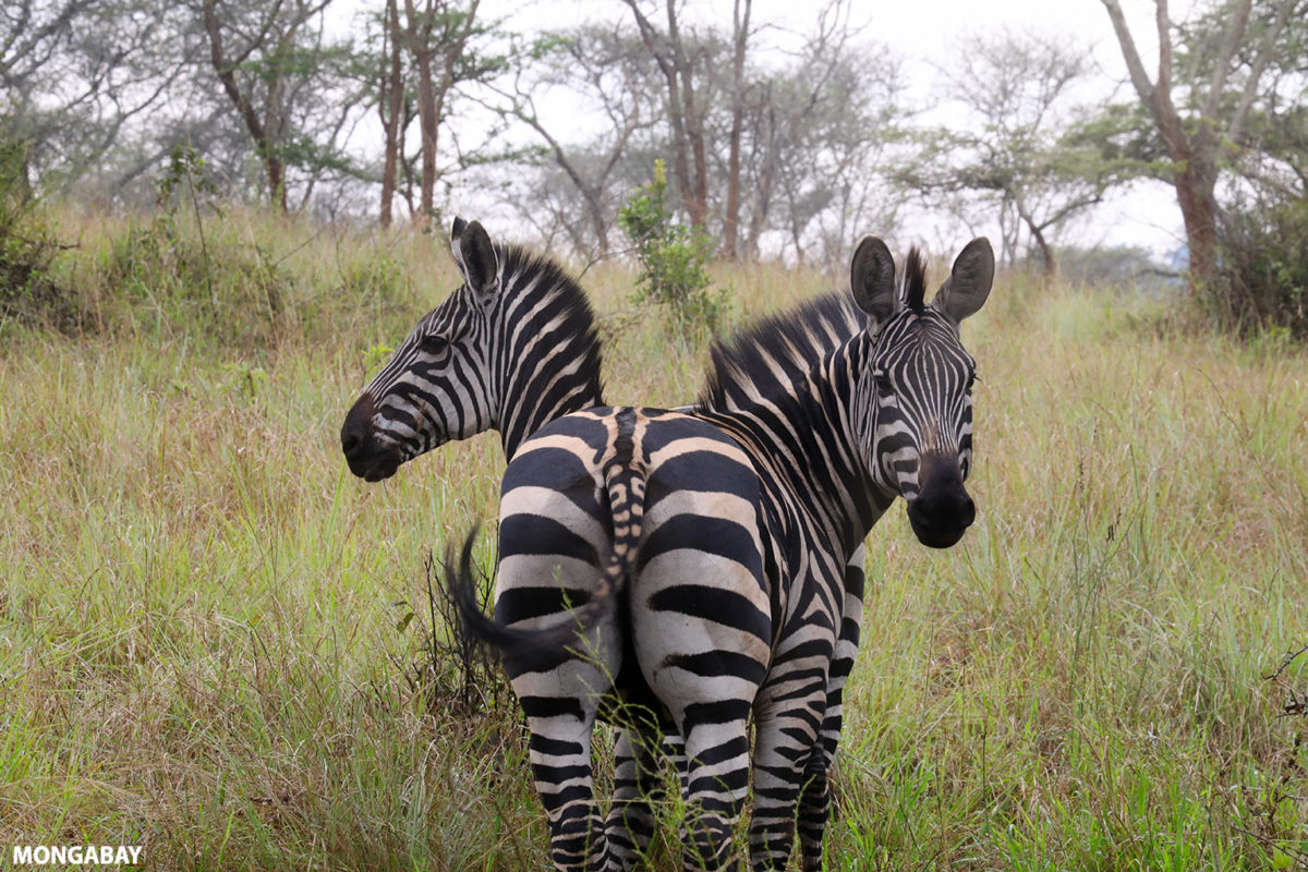 Pair of zebra in Rwanda. Photo credit: Rhett A. Butler
