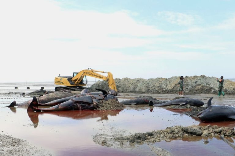 Officials dig a pit to bury the stranded short-finned pilot whales on Madura Island. Image courtesy of the Marine and Coastal Resources Management Agency in Denpasar, Bali.
