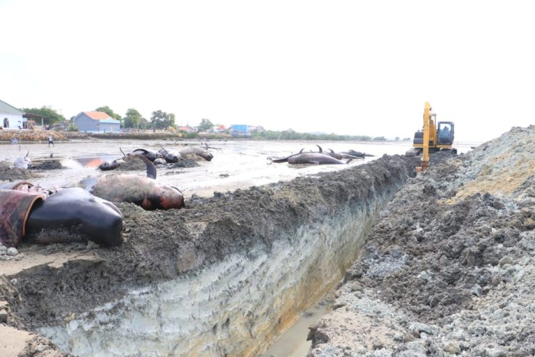 Officials use an excavator to dig a pit to bury the stranded short-finned pilot whales that died on Madura Island. Image courtesy of the Marine and Coastal Resources Management Agency in Denpasar, Bali.