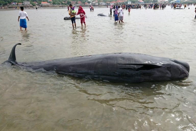 A stranded short-finned pilot whale on Madura Island. Image courtesy of the Marine and Coastal Resources Management Agency in Denpasar, Bali.