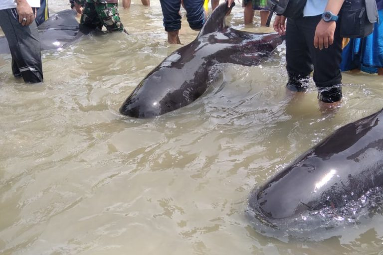 Hunger, disorientation blamed for pilot whale mass stranding in Indonesia
