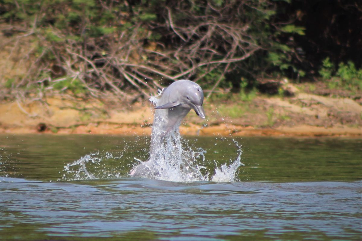 Dams drove an Asian dolphin extinct. They could do the same in the Amazon