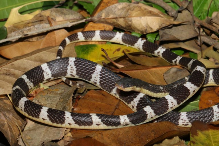 The new krait species Bungarus suzhenae. Photo by Dr Li Ding (CC-BY 4.0).