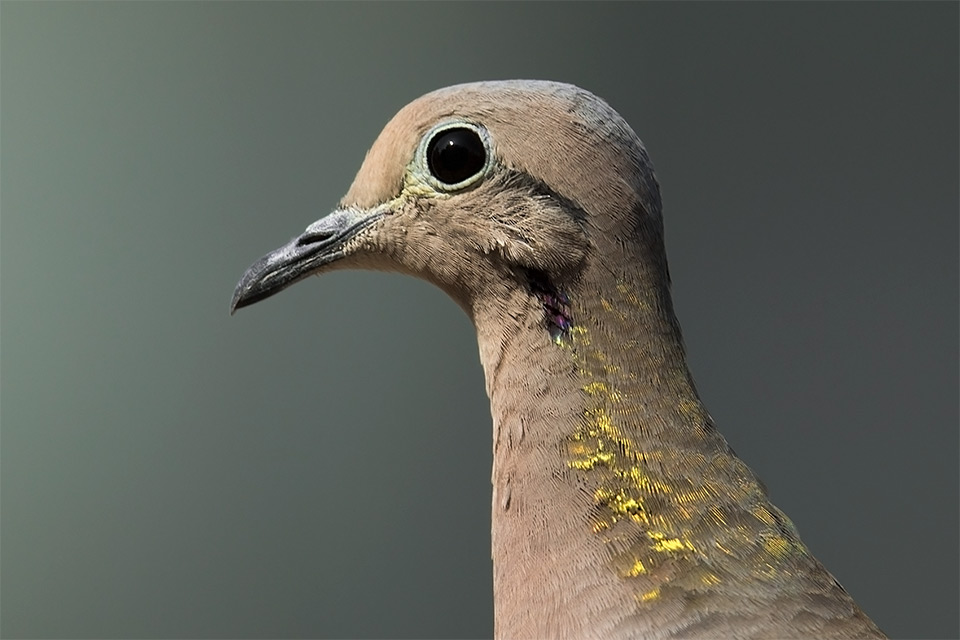 Eared-Dove-Photo--Miguel-Moran