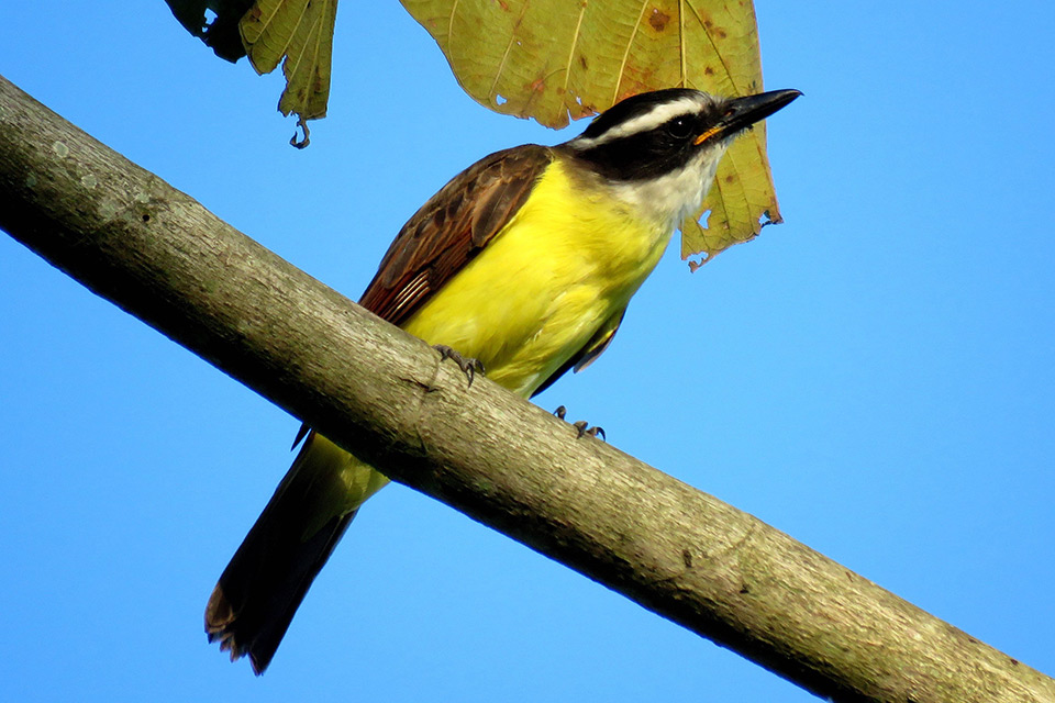 Great-Kiskadee-Photo-Fernando-Angulo