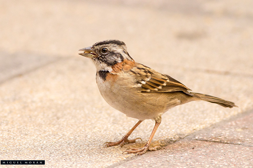 Rufous-Collared-Sparrow-Photo-Miguel-Moran