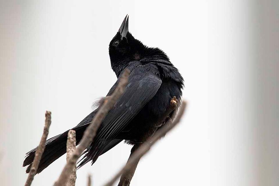 Scrub-Blackbird-Photo-Miguel-Moran