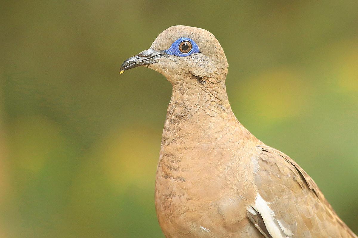 West-Peruvian-Dove-Photo-Miguel-Moran-