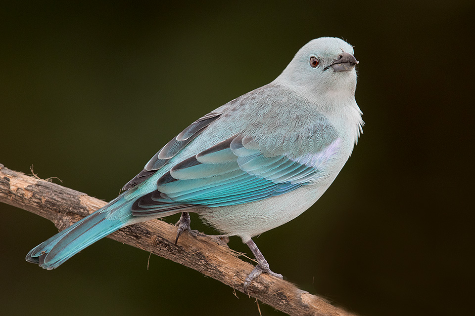 Blue-and-Gray-Tanager-photo-Miguel-Moran