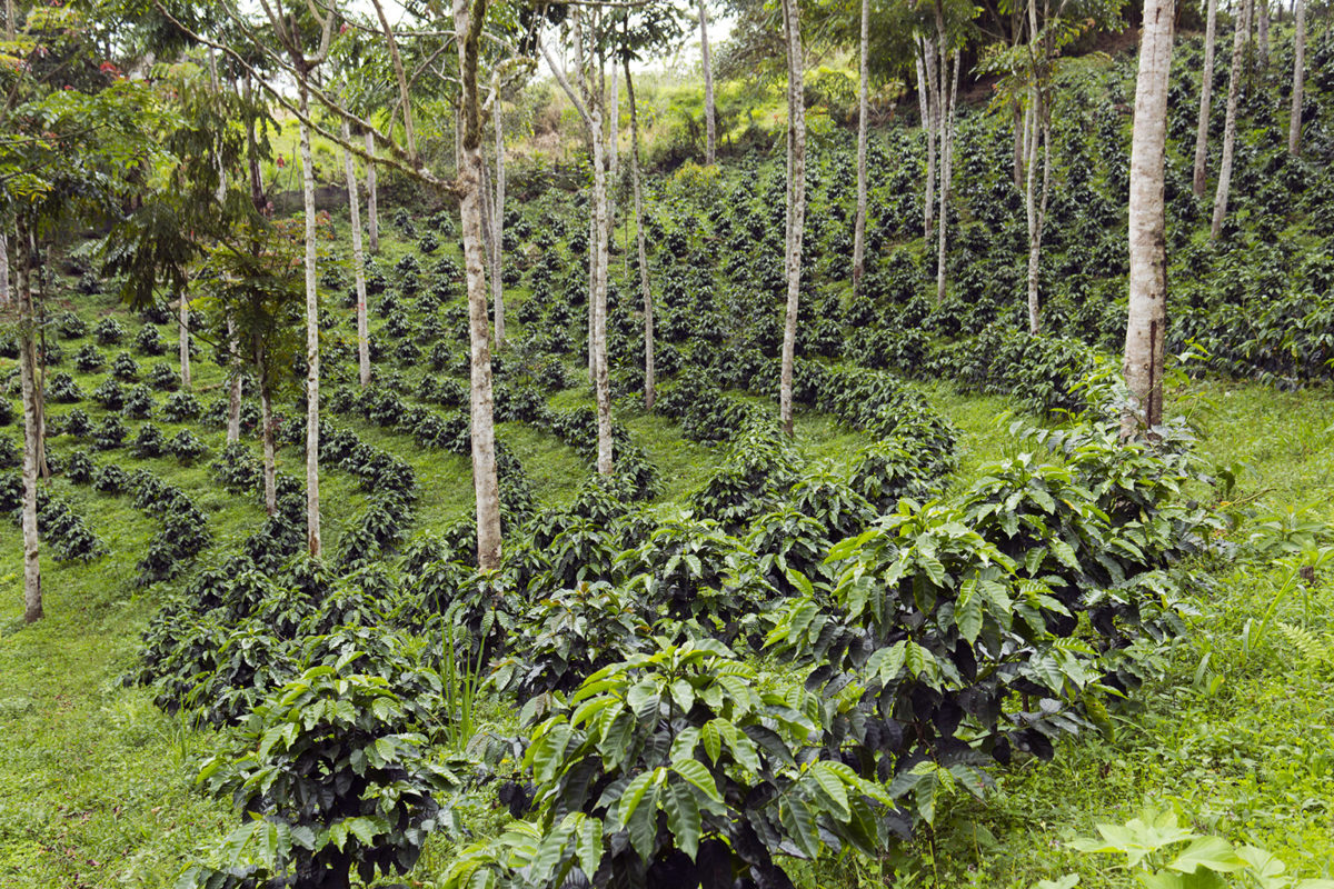 Coffee plantation in the Andes. Photo credit: Morley Read