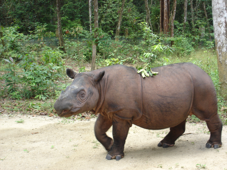 A Sumatran rhino. Image by 26Isabella via Wikimedia Commons (CC BY-SA 3.0).