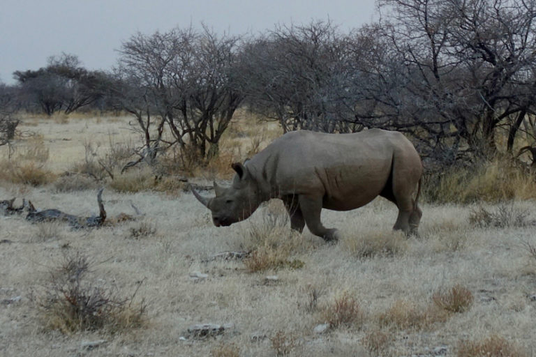 A black rhino in Etosha National Park, Namibia. Image by Sonse, via Wikimedia Commons (CC BY 2.0).