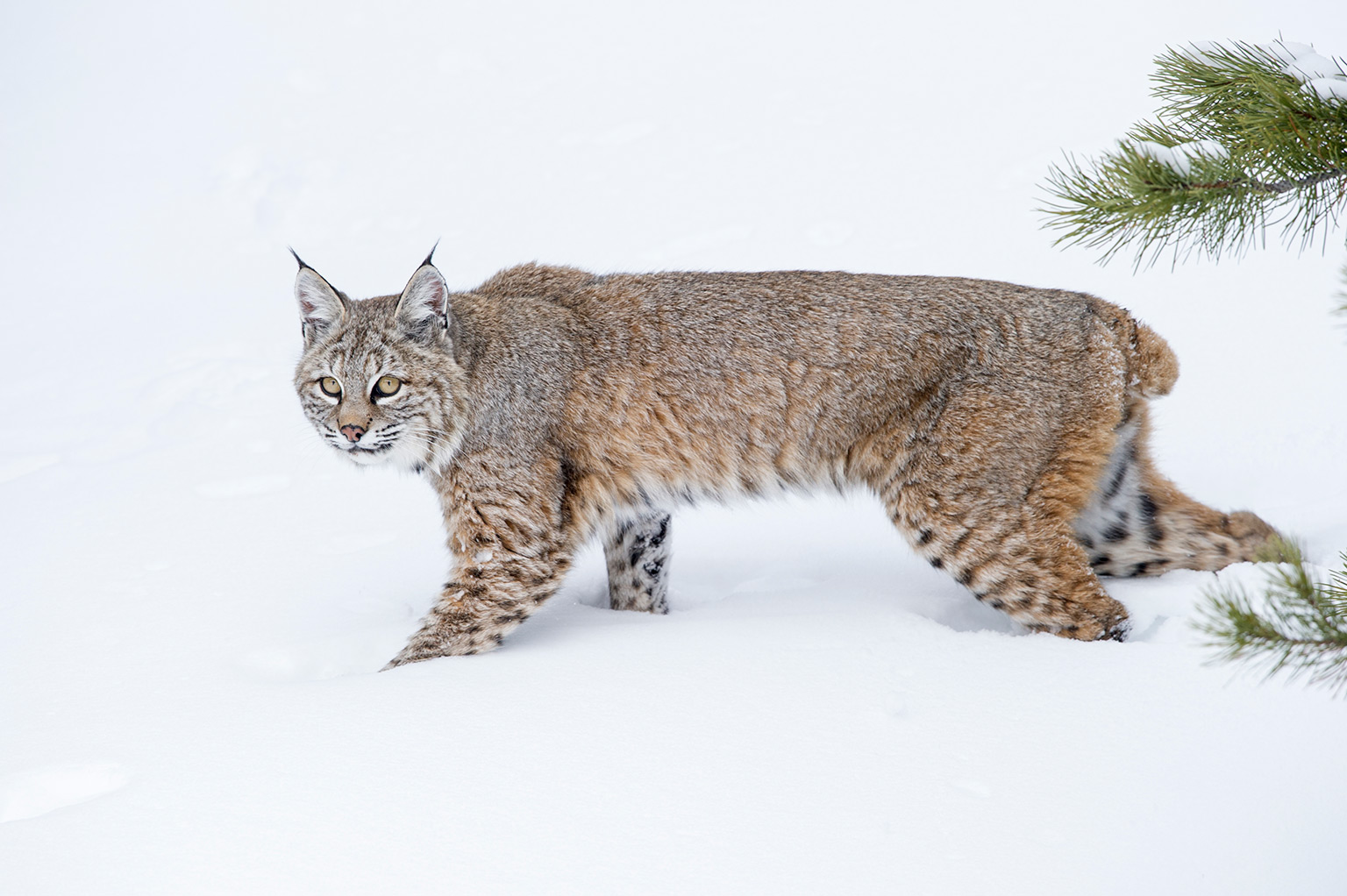 Bobcat in the snow. Photo credit: Nick Garbutt