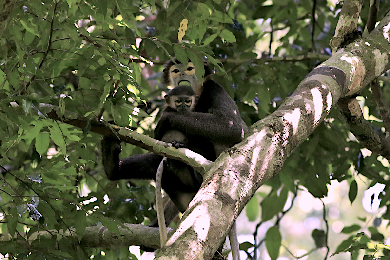 In 2007, Keo Seima contained the largest-known population of critically endangered black-shanked douc langurs (Pygathrix nigripes). However, since then, the wildlife sanctuary has lost some 30% of its primary forests. Image by Broobas via Wikimedia Commons (CC BY-SA 4.0).