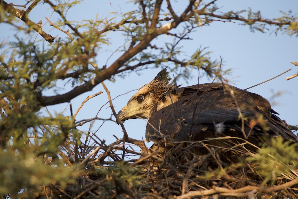 A juvenile Chaco eagle waits for its parents to return to the nest with food. Chaco eagles take three to four years to reach sexual maturity. Image by José Sarasola.