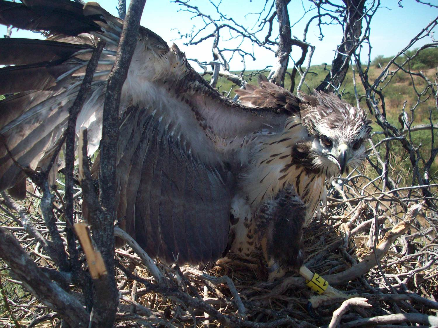 A young Chaco eagle in the Ñancuñán Biosphere Reserve in Mendoza is startled by the arrival of an intruder. Image by Andrés Capdevielle.