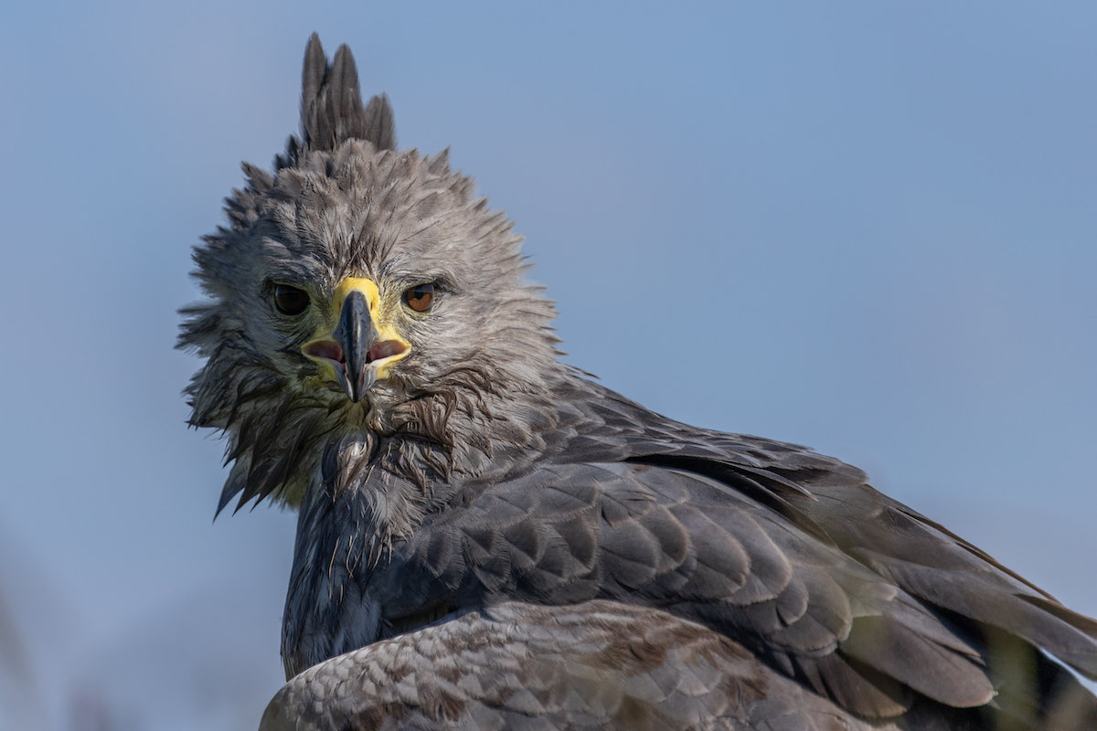 Researchers take up the cause of the mysterious and maligned Chaco eagle