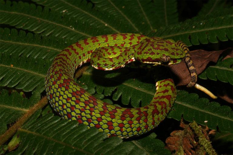 A Philippine pit viper (Trimeresurus flavomaculatus) from Mindanao island.