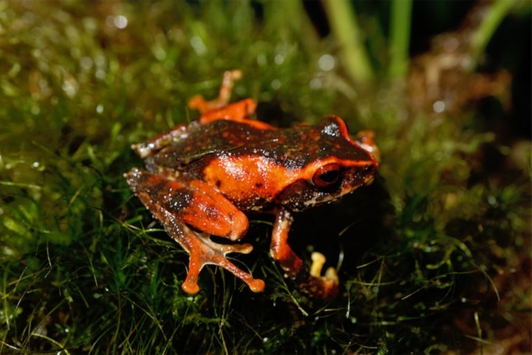 A shrub frog from the genus Philautus.