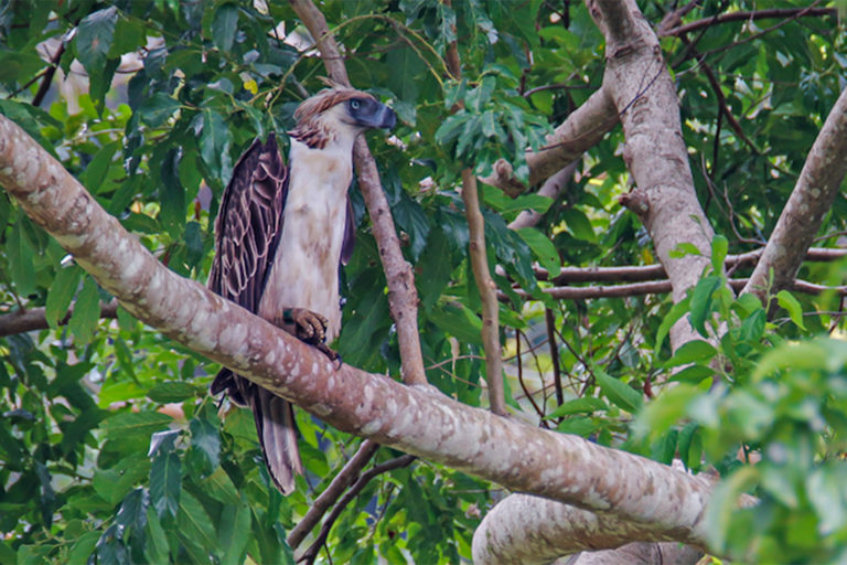 Mount Busa is one of the remaining strongholds of the Philippine eagle and other birds.